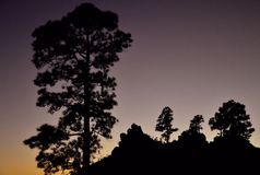 Siluette dei pini, Pilancones, Gran canaria Fotografia Stock