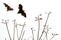 Siluette dei pipistrelli e bello ramo per uso del fondo Fotografia Stock