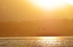 Siluette del fondo delle anatre che volano nel lago dorato di tramonto Immagine Stock