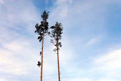 Siluette dell'albero contro il cielo uguagliante variopinto fotografia stock