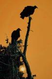 Siluette dell'avvoltoio Immagine Stock