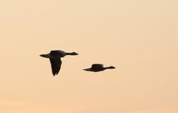 Siluette dell'uccello di volo Fotografie Stock Libere da Diritti