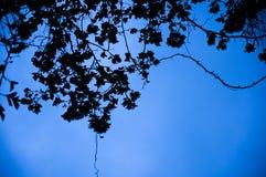 Siluette delle foglie e dei fiori della buganvillea Fotografia Stock