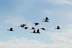 Siluette delle oche di volo in cielo blu Fotografia Stock