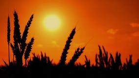 Siluette delle orecchie del grano nel giacimento di grano coltivato agricolo archivi video