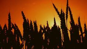 Siluette delle orecchie del grano nel giacimento di grano coltivato agricolo video d archivio