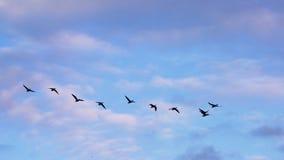 Siluette di formazione delle oche in volo Fotografie Stock