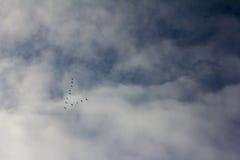 Siluette di un cuneo delle oche selvatiche di volo che formano una freccia Fotografie Stock
