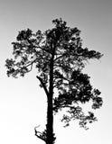 Siluette van de pijnboom stock afbeeldingen