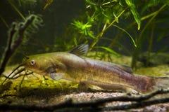 Siluro de canal despredador de agua dulce invasor de los pescados, punctatus del Ictalurus, búsqueda para la presa en acuario del fotografía de archivo libre de regalías