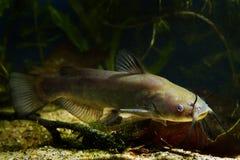 Siluro de canal despredador de agua dulce peligroso juvenil, punctatus del Ictalurus en acuario de los pescados del biotopo del f foto de archivo libre de regalías