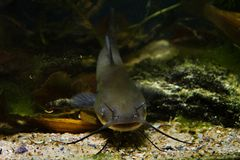 Siluro de canal despredador de agua dulce peligroso juvenil, punctatus del Ictalurus en biotopo del dep?sito del fr?o-agua foto de archivo