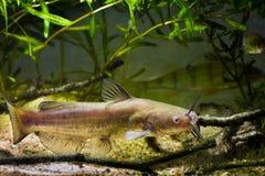 Siluro de canal despredador de agua dulce voraz, punctatus del Ictalurus en acuario europeo del biotopo del río del frío-agua fotos de archivo libres de regalías