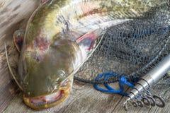 Siluro europeo en la red y la caña de pescar Imagenes de archivo