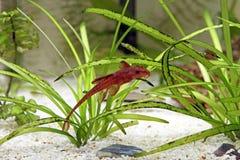 Siluro rojo del lagarto Foto de archivo libre de regalías