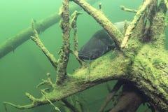 Silurus glanis del pesce gatto europeo del pesce di acqua dolce subacqueo fotografia stock