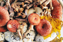 Silvan autumn mushrooms Royalty Free Stock Photo