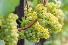Silvaner druvor växer och mognar arkivbild