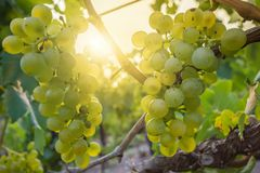Silvaner ripens in the sun on the sweet lake stock images