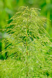 木贼属植物silvaticum 库存照片