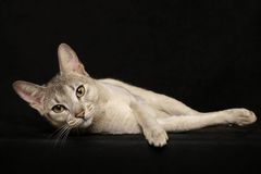 Silver Abyssinian Royalty Free Stock Photo