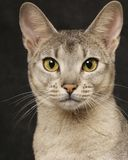 Silver Abyssinian Stock Photo