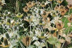 Silver alpine sea holly plant. Botanic garden in Christchurch,  New Zealand Stock Photo