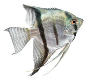Silver Angelfish Stock Photos