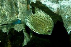 Silver Angelfish Stock Photos