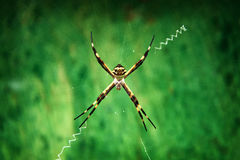 Silver Argiope. A closeup shot of an Argiope Argentata on a green background Stock Photography