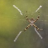 Silver Argiope spider Stock Photo
