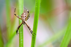 Silver argiope spider weaving its web stock image