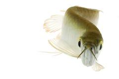 Silver Arowana. (Osteoglossum bicirrhosum) on white background Stock Photos