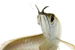 Silver Arowana. (Osteoglossum bicirrhosum) on white background Royalty Free Stock Image