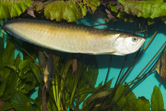 Silver Arowana in Aquarium Royalty Free Stock Image