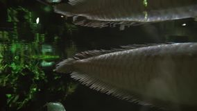 Silver arowana in freshwater aquarium stock footage video stock video footage
