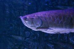 Silver arowana swimming underwater. Wildlife animal. Stock Images