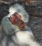 Silver baboon effectively poses the audience Stock Photo