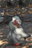 Silver baboon poses the audience Royalty Free Stock Photography