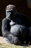 Silver Back Gorilla. Sitting outside of his Den Stock Images
