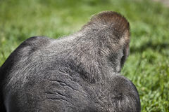 Silver back gorilla. Silver back - low land male gorilla Royalty Free Stock Images