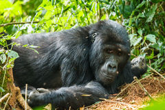 Silver back gorilla. Family in wild on Uganda Stock Image
