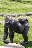 Silver back Gorilla. A female Silver back Gorilla with her baby on her back Stock Images