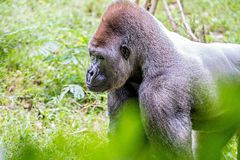 Silver back gorilla looking alert and menacing against a natural. Background stock photos