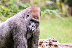 Silver back gorilla looking alert and menacing against a natural. Background stock images