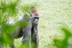 Silver back gorilla looking alert and menacing against a natural. Silver back gorilla looking alert and menacing against  a natural background Royalty Free Stock Image