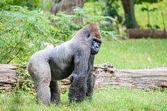 Silver back gorilla looking alert and menacing against a natural. Silver back gorilla looking alert and menacing  against a natural background Stock Photos