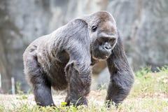 Silver back gorilla looking alert and menacing against a natural. Silver back gorilla looking alert and menacing  against a natural background Royalty Free Stock Images