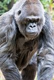 Silver back gorilla looking alert and menacing against a natural. Background royalty free stock photo