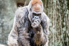 Silver back gorilla looking alert and menacing against a natural. Background stock photo